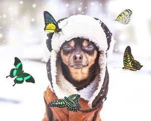 Concept Dreams Come True,  miracle, a dog with eyes closed sits in a winter forest and dreams of summer, butterflies fly around